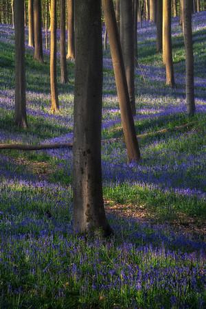 Winding bluebells