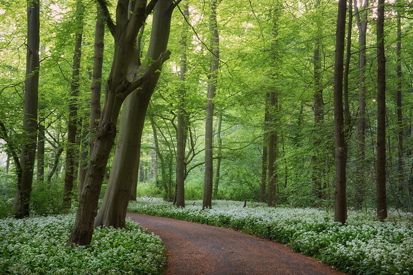 Wild garlic spring forest