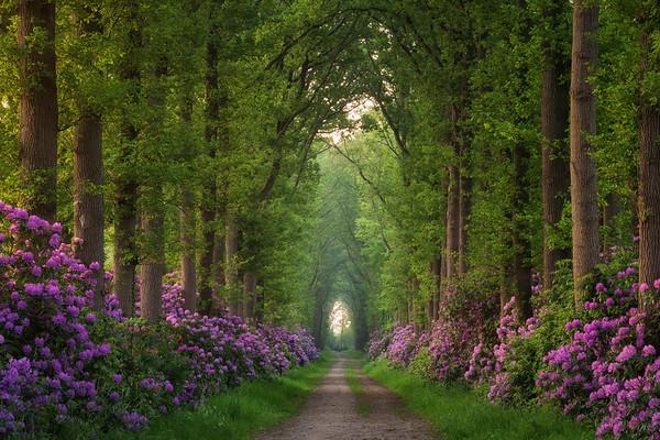 Rhododendron lane