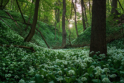 The valley of wild garlic