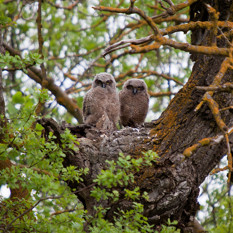 Great Horned Owl Couple - IMG#8729