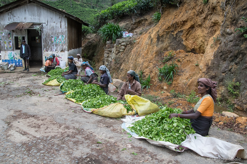 Tea pickers transferring their tea leaves from sacks to looped larger sacks for weighing in the shed behind.