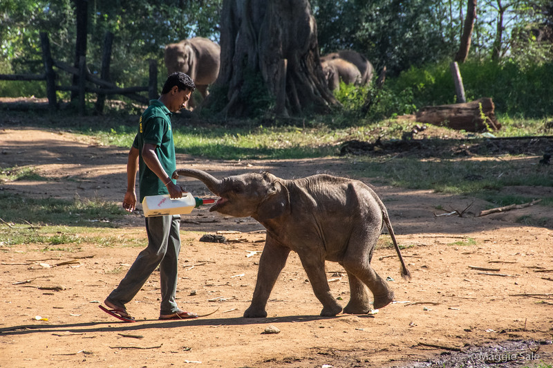 We visited the nearby Elephant Transit Home where young orphaned or injured elephants are looked after until they are five years old and can be released into the wild. They are fed milk and leaves four times a day.
