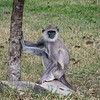 The grey Langur's were less common but we saw them several times, also around temples and hotels. They are much bigger and swing around the trees and buildings making a lot of noise!