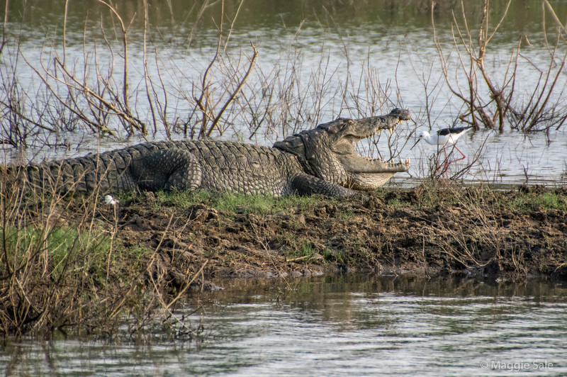 Crocodile sunbathing with open mouth!