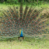 A peacock displaying in Yala NP.