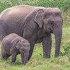 Mother and baby elephant in our first group of elephants seen during our jeep safari to Minneryia National Park
