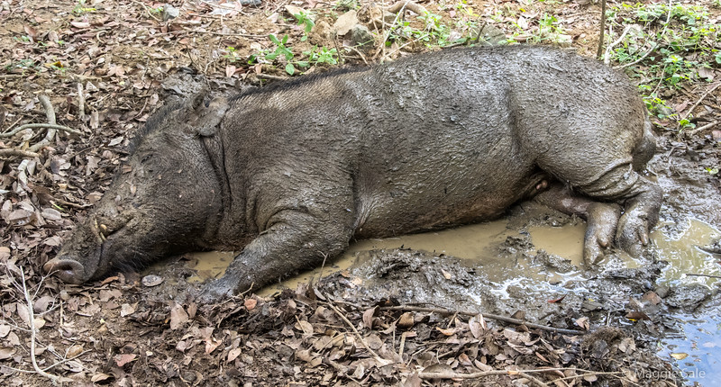 This wild boar was lying in a muddy puddle outside our cabin at the edge of Yala National Park, where we arrived the same day ready to look for leopard on our safari. The wildlife roam around and we had to be escorted in the dark from our cabins to the hotel itself.