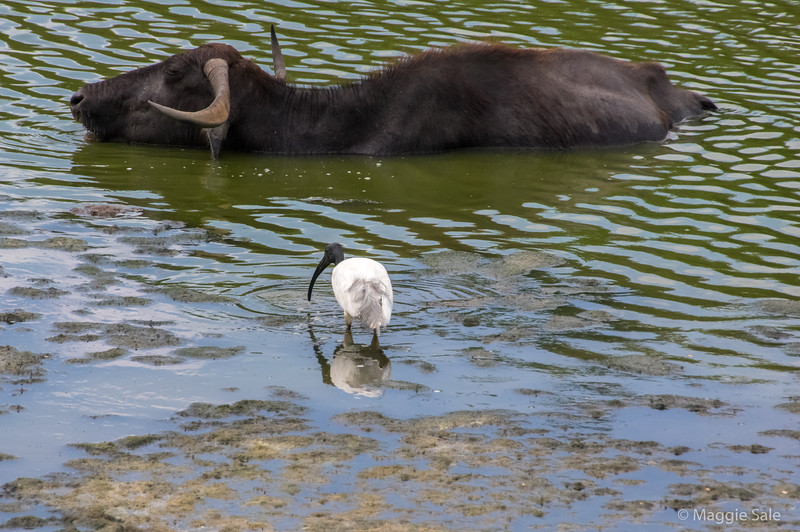 Water buffalo and black ibis at Yala NP.