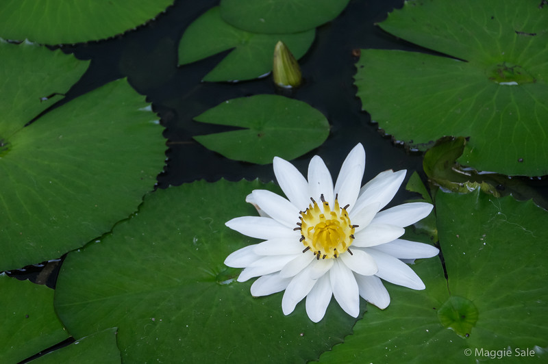 A lovely water lily at our Kandy hotel.
