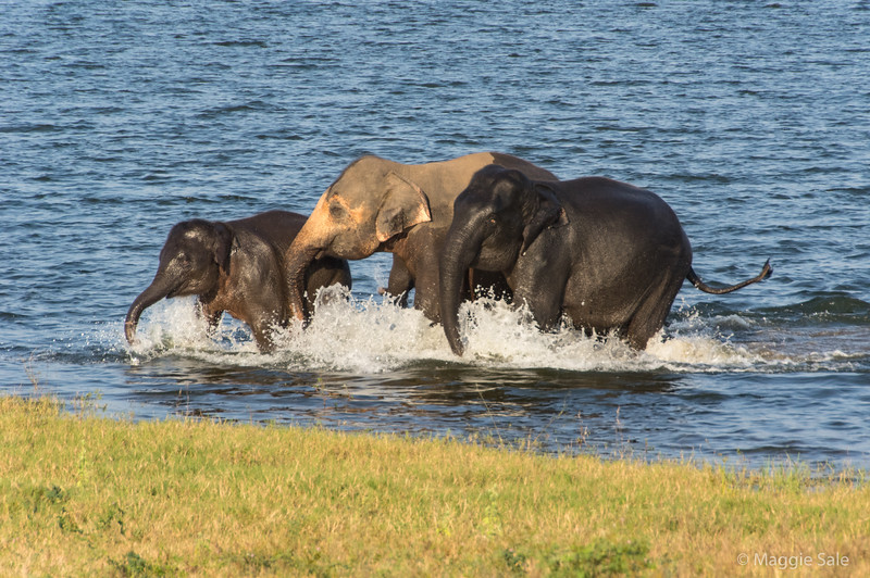 Group had been swimming and came charging out of the water. Older Asian elephants have pink ear tips and trunks.
