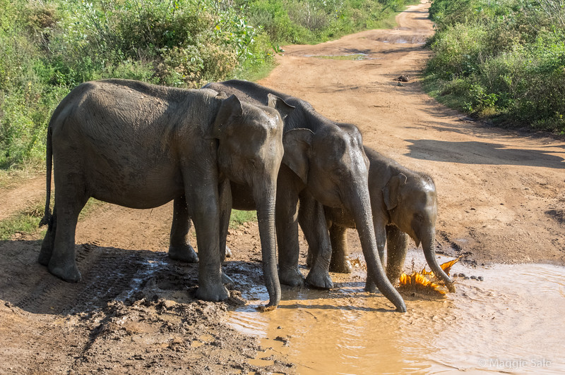 Right behind our jeep 3 young elephants came to splash.
