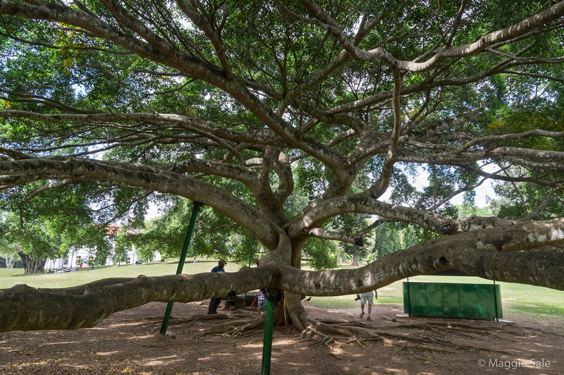 This is a Javan fig tree on the Great Lawn which is over 100 years old.