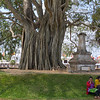 A huge banyan tree was much bigger!
