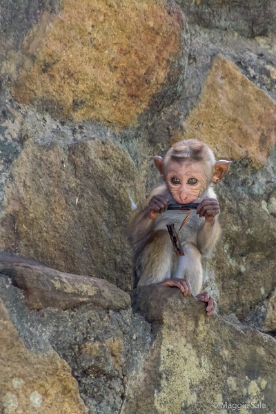 There are many macaque monkeys around the temples (also known as temple monkeys). They live near humans and have always been associated with these ancient ruins. This little guy was the cutest baby imaginable!