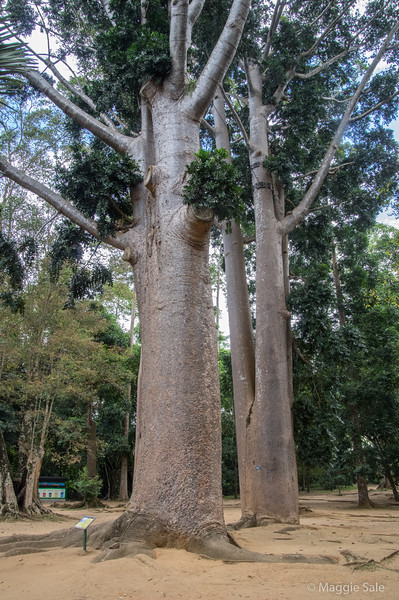 The gardens are well known for their trees, many of them tropical giants and very old.