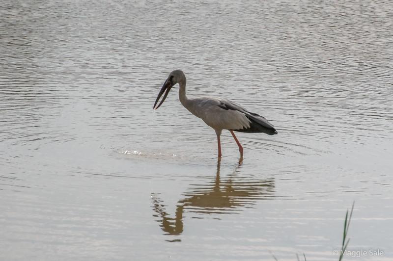 An open-billed stork at Yala. It's bill always has a gap in it!