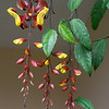 An interesting hanging vine with flowers that was in the garden at our Kandy Hotel - we didn't see it anywhere else.