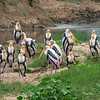 Comical painted storks at Minneryia NP.