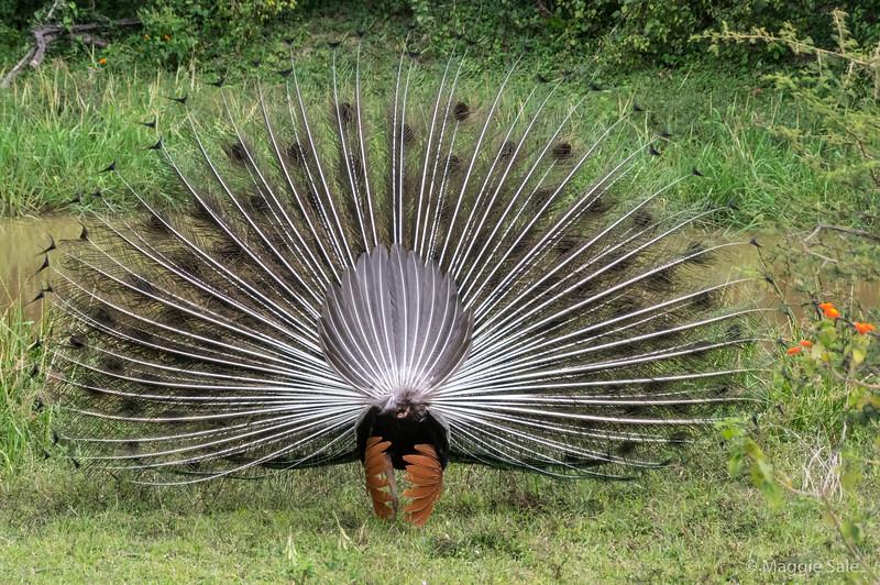 Peacock's back side!