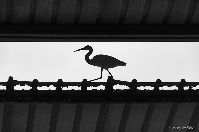 An egret who was the boss of the birds gathered around the fresh fish market!