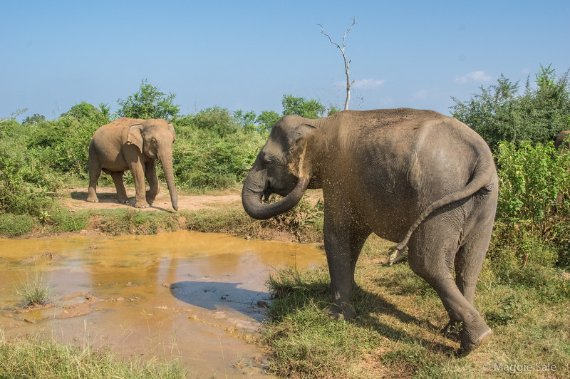 Best views of elephants were in the puddles beside the track. They were squirting muddy water over themselves to keep cool.