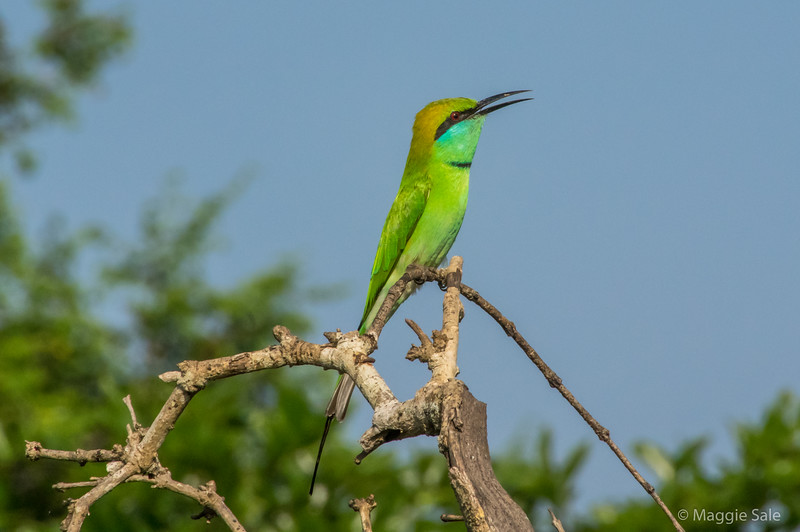 Our next destination was Uda Walawe National Park south of the highlands. We went on an afternoon jeep safari - this park has the most elephants and also crocodiles. We saw many lovely green bee-eaters.