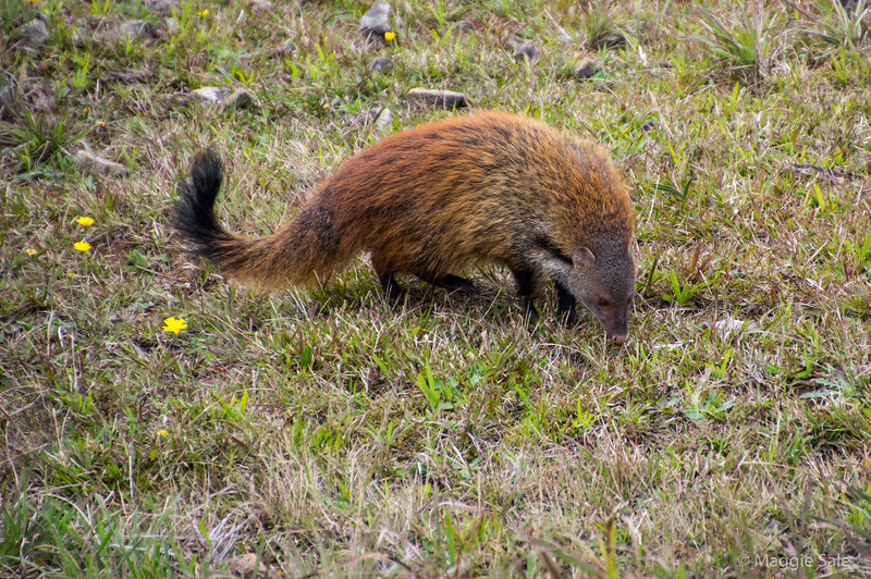 A ruddy mongoose - one of a pair beside the track - a very large mongoose with thick fur. We saw this same species in Yala and they were smaller and less red - heavy coat not necessary in the heat at Yala. Sam had never seen them at Horton Plains before.