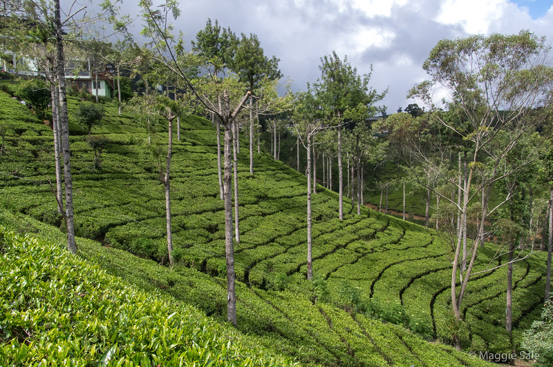 We walked through some tea rows after sampling a cup of tea - taken without milk in SL. I found it better than expected for someone who doesn't drink tea!