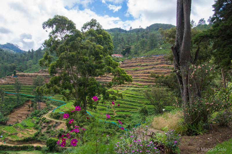 View of the vegetable terraces from our plantation hotel. Climate is cool enough for a wide variety of vegetables, many familiar to us like these bright green carrot tops.