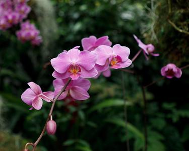 Laeliocattleya Orchid, Missouri Botanical Garden Orchid Show