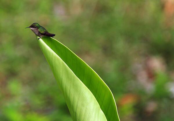 Antillian Crested Hummingbird (Orthorhyncus cristatus)