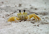 Ghost Crab (Ocypode quadrata) - also called Sand Crabs - they have 360 degree vision - they burrow at around a 45 degree angle and about 4 ft. (1.2 m) down into the sand, above the tide line