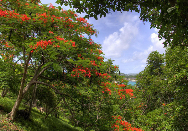 Flamboyant Tree (Delonix regia) - also known as the Flame Tree - with its long seed pods - here on Pigeon Island, with Rodney Bay beyond the limbs and leaves