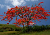 Flamboyant Tree (Delonix regia) - also called a Flame Tree - it grows to around 30 ft. (9 m) tall and its canopy can be wider than its height - its seed pods grow to around 18in. (46 cm) long