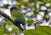 St. Lucia Parrot (Amazona versicolor) - also called Jacquot - the National Bird of St. Lucia