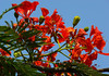 Buds and Blooms of the Flamboyant Tree (Delonix regia) - also a Flame Tree