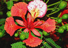 """Flamboyant Tree (Delonix regia) - the flower bloom has 4 spreading scarlet petals, growing to about 3 in. (76 mm) long, and a 5th upright petal called the """"standard"""", which is slightly larger with a white base color that has red speckling"""