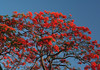 Flamboyant Tree (Delonix regia) - also a Flame Tree - against the naked sky of St. Lucia