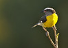 Bananaquit (Coereba flaveola) - also called the Sugar Bird - the official bird of St. Croix