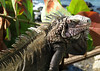 Green Iguana (Iguana iguana) - they are arboreal lizards and good swimmers too