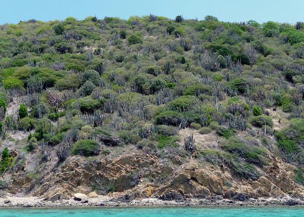 Buck Island - Organ Pipe Cactus (Stenocereus peruvianus),  growing above the sedimentary rock shoreline along the southeastern shore of the island