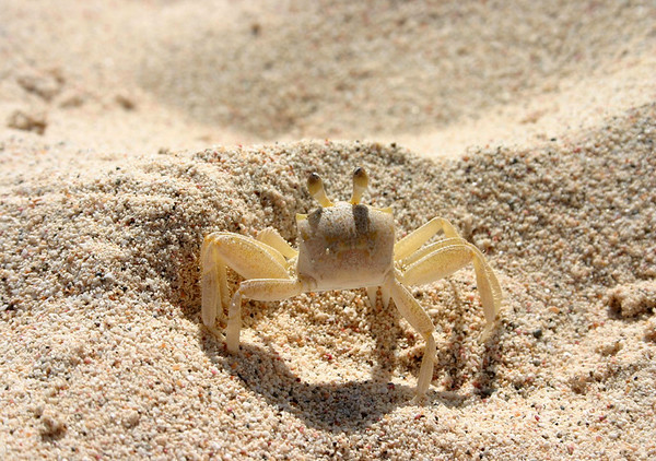 Ghost Crab (Ocypode quadrata) - they burrow holes in the sand at the high tide mark on the beaches
