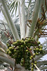 Silver Thatch Palm (Coccothrinax artentea) - bearing its fruit