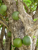 Calabash Tree (Crescentia cujete) bearing hard-shelled, gourdlike fruits, that grow to 14 in. (36 cm) in diameter - the fruit sprouts directly from the trunk's bark - the fruit shells are used to make bowls