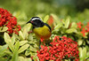 Bananaquit (Coereba flaveola) - also called the Sugar Bird - the official bird of St. Croix - they feed mainly on nectar