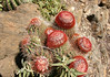 Turk's Cap Cactus (Melocactus intortus) - found on the arid eastern area of the island