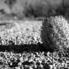 Baby Barrel Cactus - IMG#0021