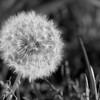 Dandelion - IMG#1290