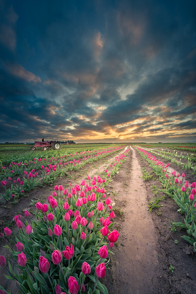 Endless tulip field
